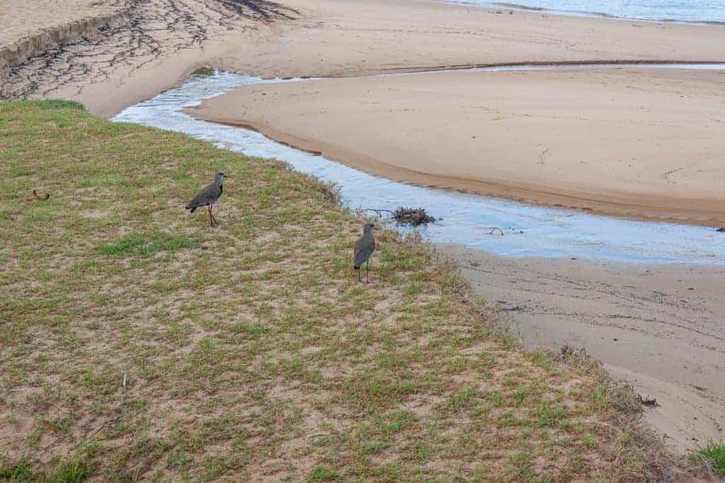 Deux « quero quero » sur la plage sur l'île Ilhabela